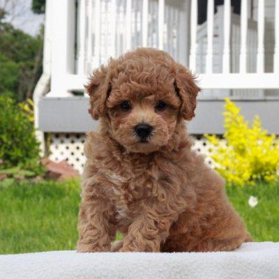 Piper - f1 Bichpoo puppy for sale in Narvon, Pennsylvania