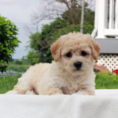 Polly - f1 Bichpoo female pup for sale at Narvon, Pennsylvania