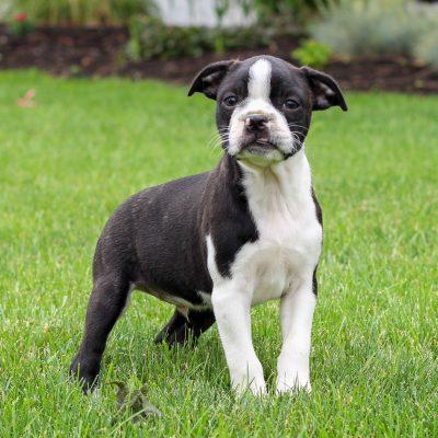 Quincy - ACA Boston Terrier pupper for sale at Gap, Pennsylvania