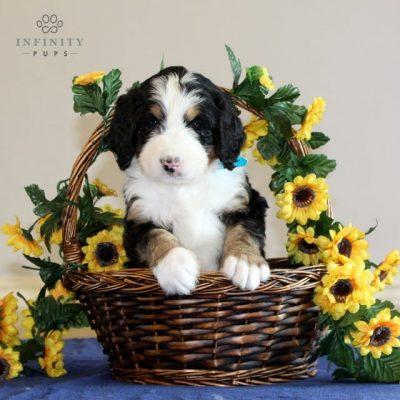 Rainbow - Standard f1 bernedoodle puppy for sale in Washington Boro, Pennsylvania