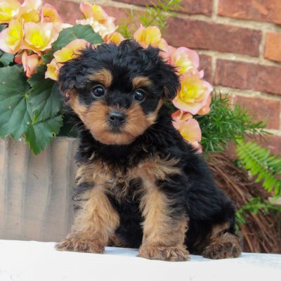 Rex - pup F1 Teacup Yorkipoo male for sale at Gordonville, Pennsylvania