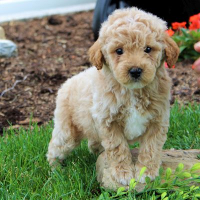 Richy - F1b Mini Goldendoodle male pup for sale at Gordonville, Pennsylvania