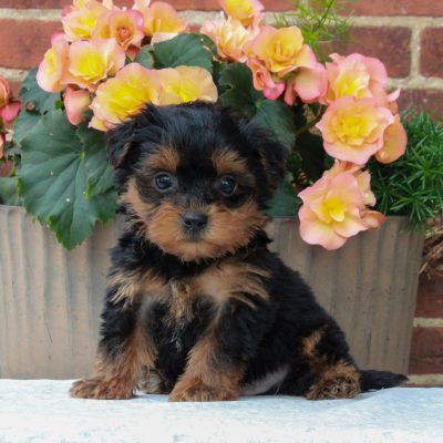 Ricky - F1 Teacup Yorkipoo male doggie for sale at Gordonville, Pennsylvania