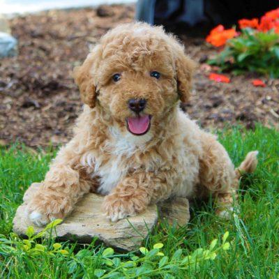 Rocky - F1b Mini Goldendoodle puppy for sale in Gordonville, Pennsylvania