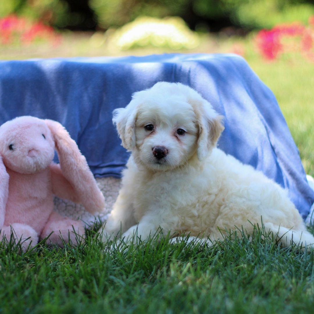 Rosie - F1b Mini Bernedoodle for sale in Narvon, Pennsylvania