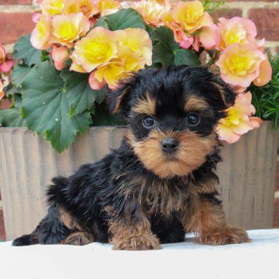 Ryan - F1 Teacup Yorkipoo male puppie for sale in Gordonville, Pennsylvania
