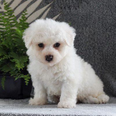 Sammy - Bichon Frise male puppie for sale in Gordonville, Pennsylvania