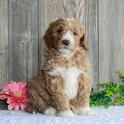 Sonny - F1b Standard Goldendoodle pup for sale near Honeybrook, Pennsylvania