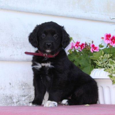 Tasha - Bernese Mountain Dog - Golden Retriever Mix puppy for sale in Christiana, Pennsylvania