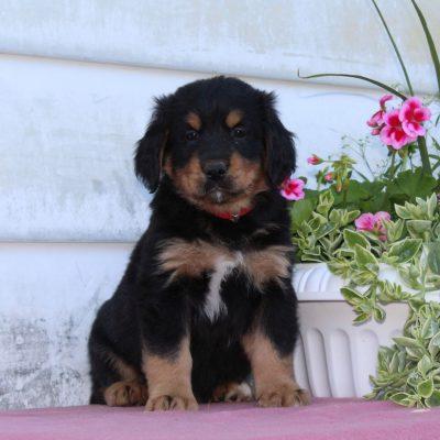 Teddy - Bernese Mountain Dog - Golden Retriever Mix puppy for sale near Christiana, Pennsylvania