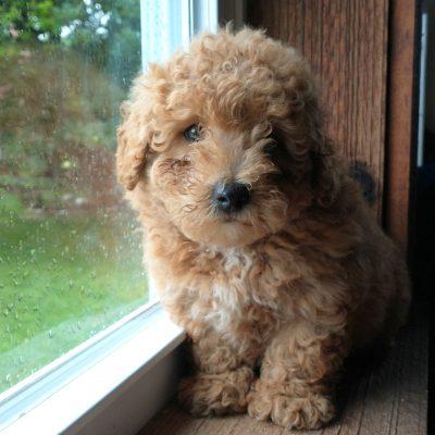 Teddy - f1b Mini Bernedoodle puppy for sale in Lititz, Pennsylvania