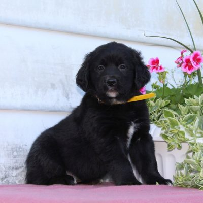 Tessa - female Bernese Mountain Dog - Golden Retriever Mix pup for sale at Christiana, Pennsylvania