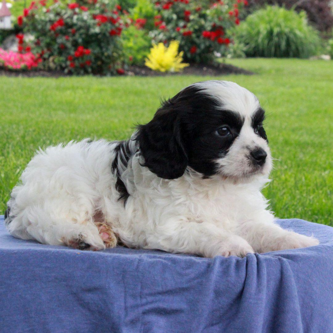 Tex - F1 Cavachon male puppie for sale at Gordonville, Pennsylvania