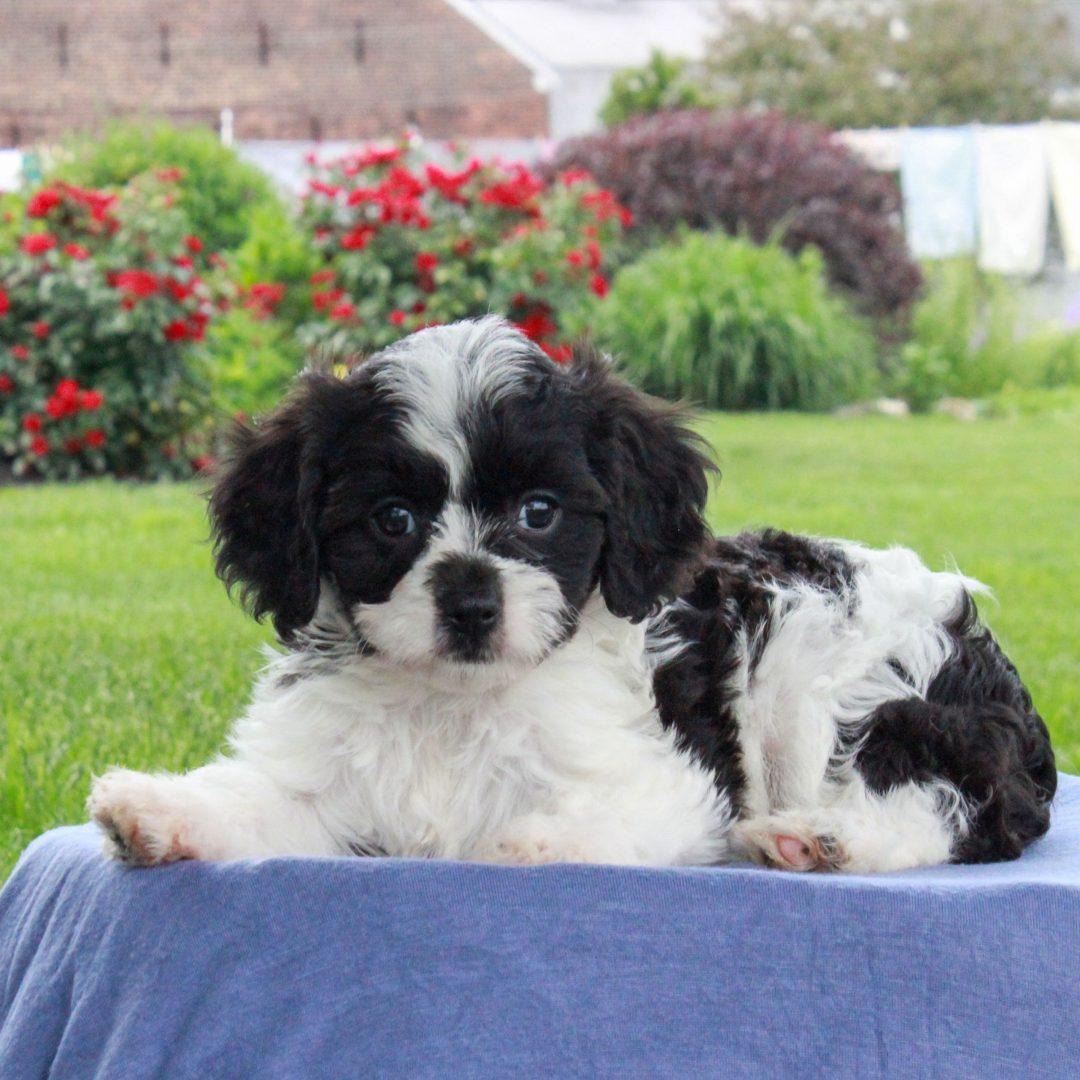 Tiffany - pup F1 Cavachon female for sale near Gordonville, Pennsylvania