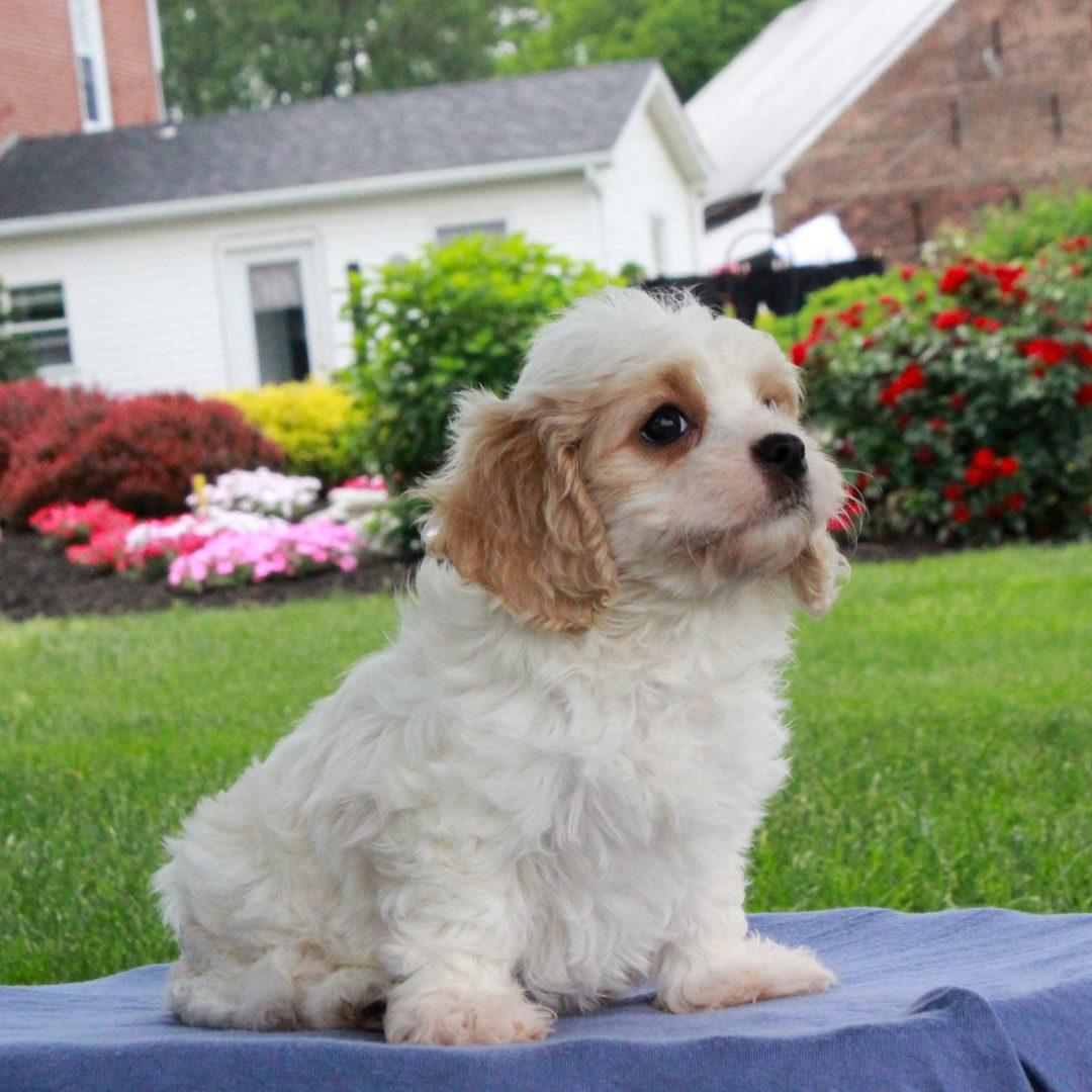Tinker - F1 Cavachon male pupper for sale in Gordonville, Pennsylvania