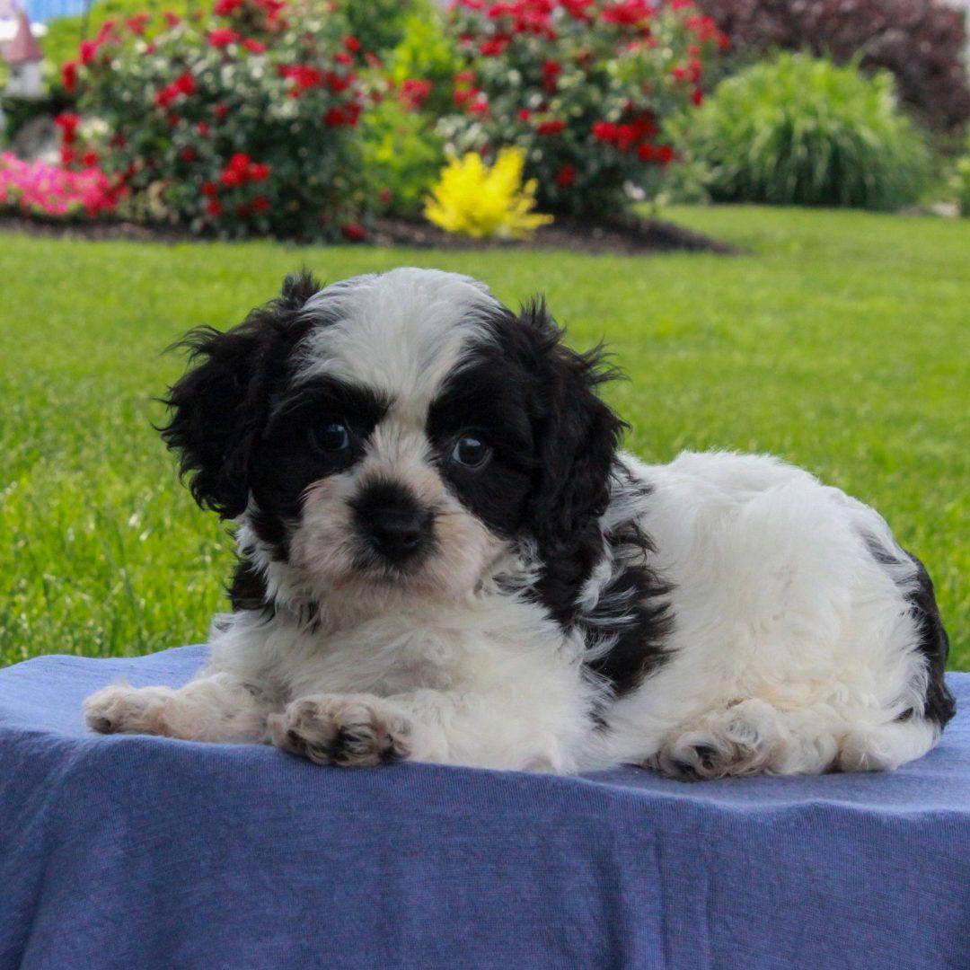 Tommy - F1 Cavachon male puppy for sale in Gordonville, Pennsylvania