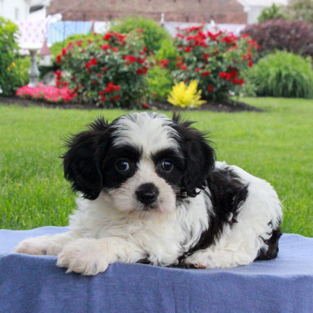 Tony - F1 Cavachon male doggie for sale near Gordonville, Pennsylvania
