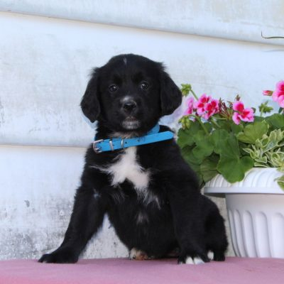 Trixie - Bernese Mountain Dog - Golden Retriever Mix puppie for sale in Christiana, Pennsylvania