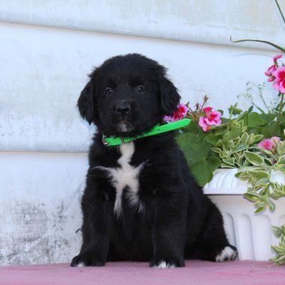 Trisha - Bernese Mountain Dog - Golden Retriever Mix pupper for sale near Christiana, Pennsylvania
