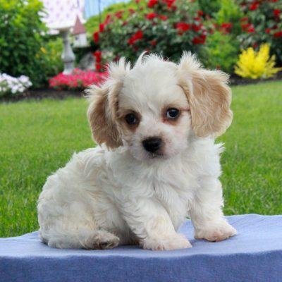 Tucker - male F1 Cavachon pup for sale at Gordonville, Pennsylvania