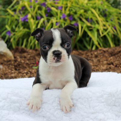 Valery - Boston Terrier female pup for sale at Gordonville, Pennsylvania