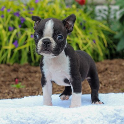 Vance - Boston Terrier pup for sale near Gordonville, Pennsylvania
