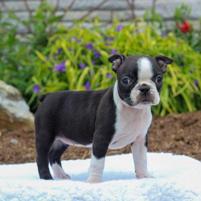 Violet - Boston Terrier doggie for sale in Gordonville, Pennsylvania