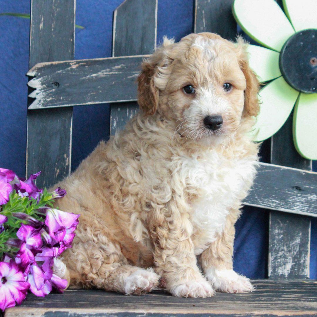 Wallace - F1 Bichpoo puppie for sale at Gordonville, Pennsylvania