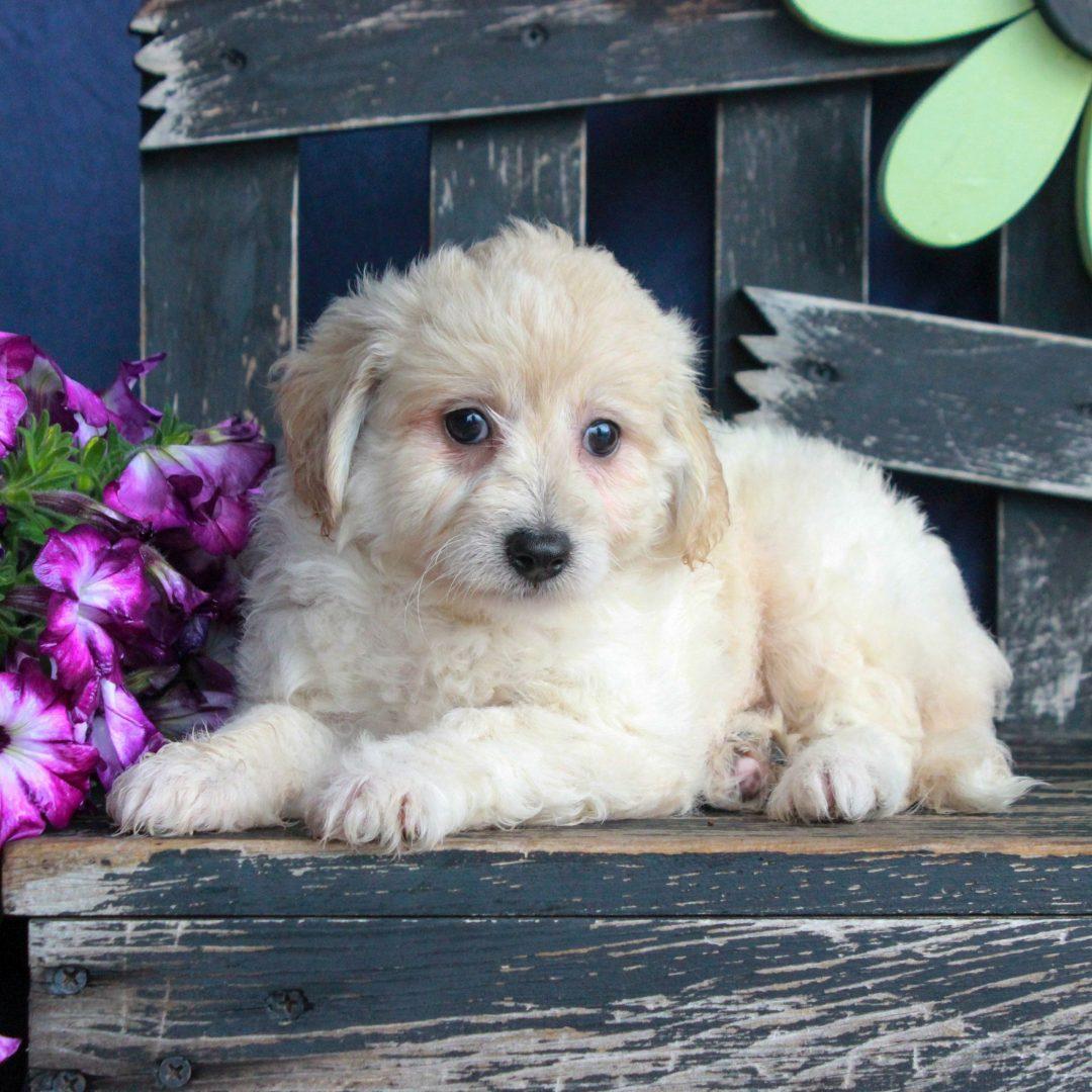 Wendy - female F1 Bichpoo female doggie for sale at Gordonville, Pennsylvania