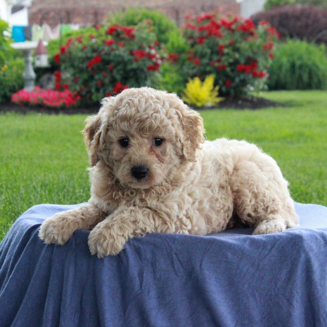 Willow - female F1 Bichpoo puppie for sale in Gordonville, Pennsylvania