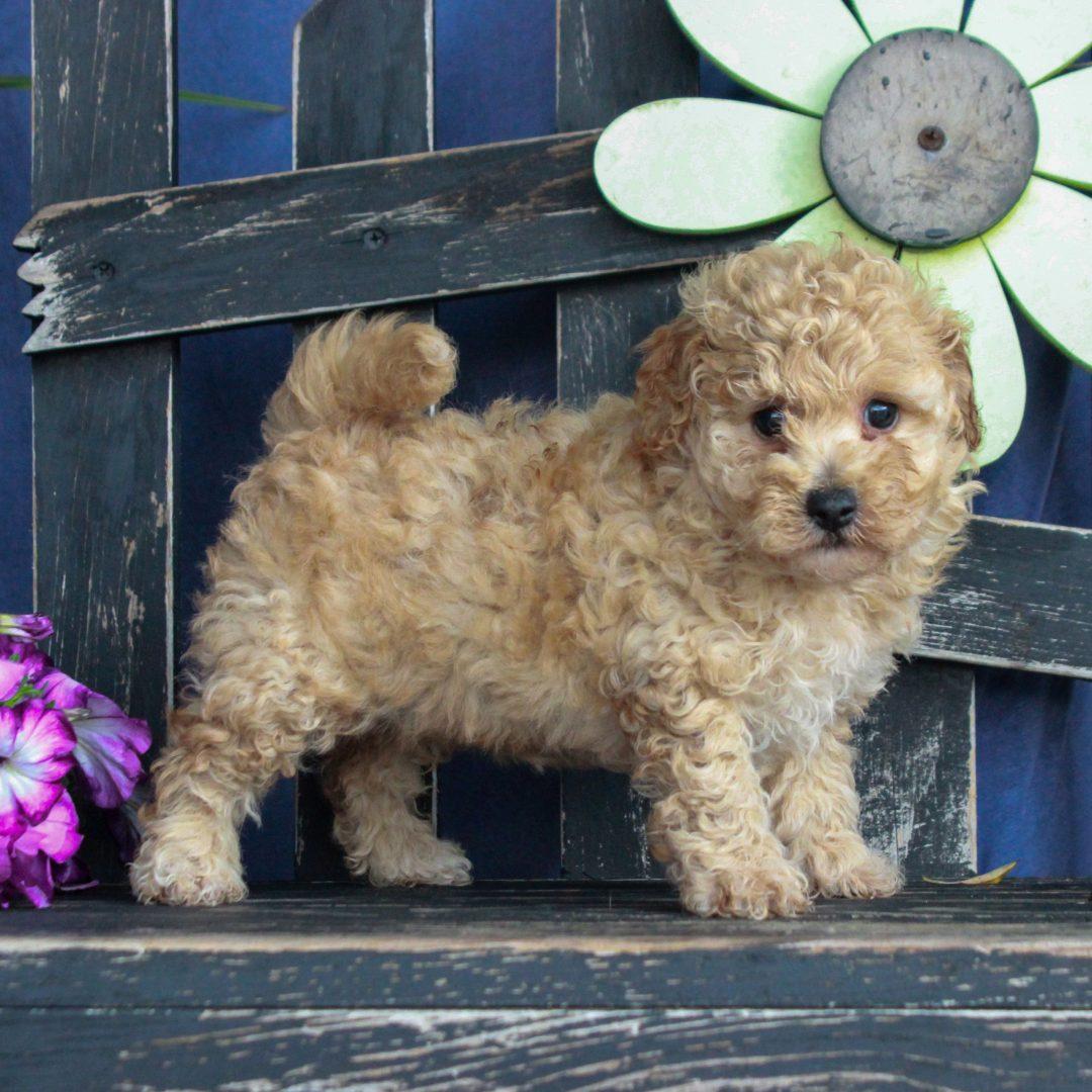 Winnie - F1 Bichpoo puppy for sale near Gordonville, Pennsylvania