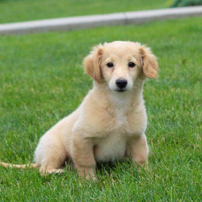 Zane - f1b mini Goldendoodle puppy for sale near Gap, Pennsylvania
