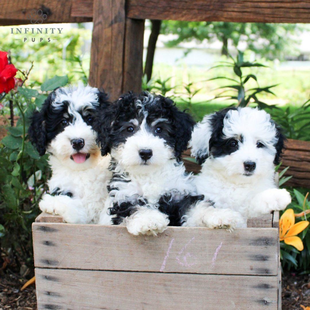 Drew - F1b Mini Bernedoodle puppy for sale near Lititz, Pennsylvania