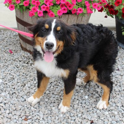Sadie - AKC Bernese Mountain female pup for sale at Grabill, Indiana