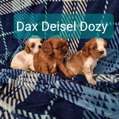 Deisel, Dax and Dozy - puppies ACA Cavalier King Charles Spaniel for sale at New Haven, Indiana