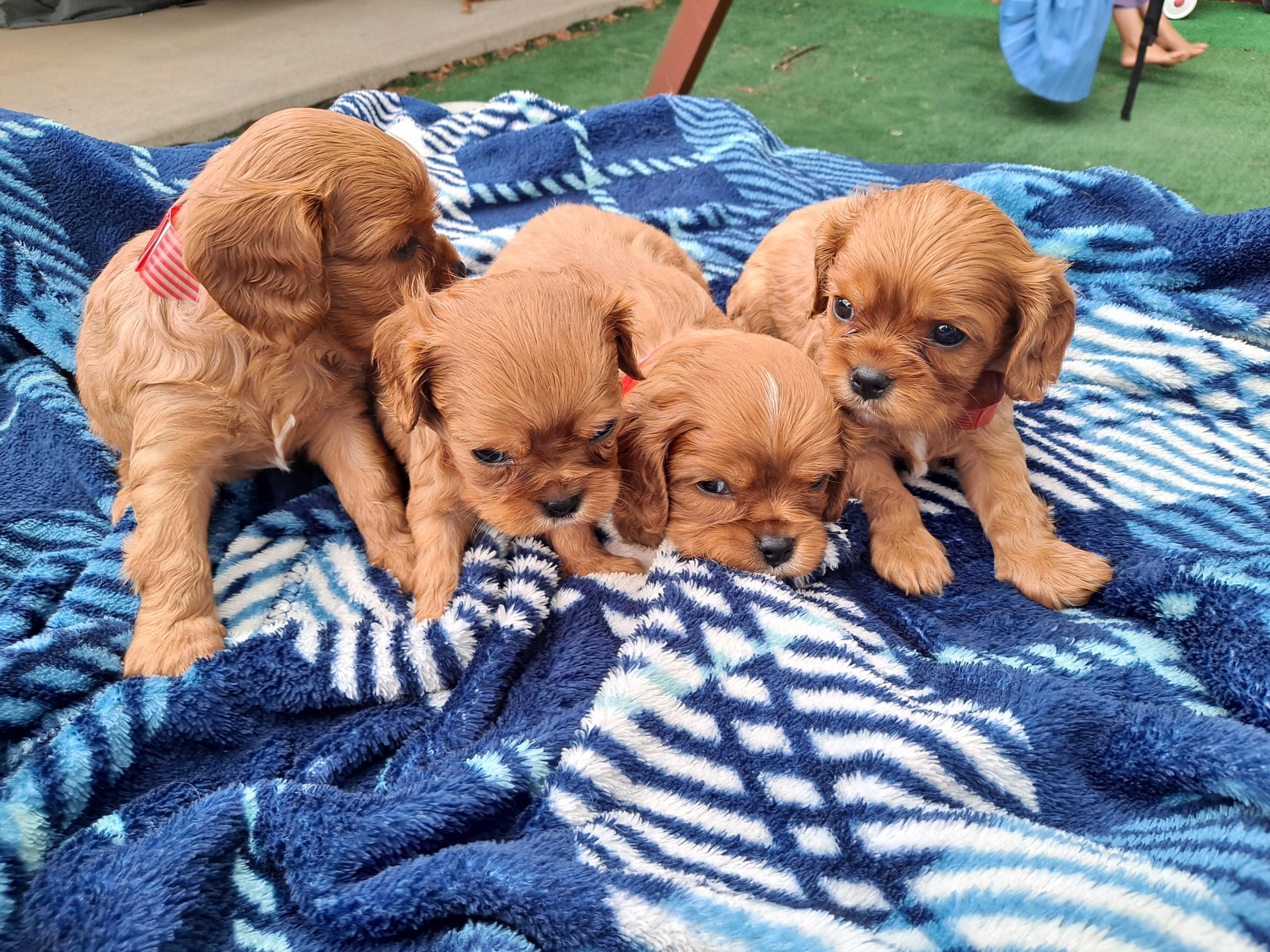 Male Cavalier King Charles Spaniel puppies for sale in New Haven, Indiana