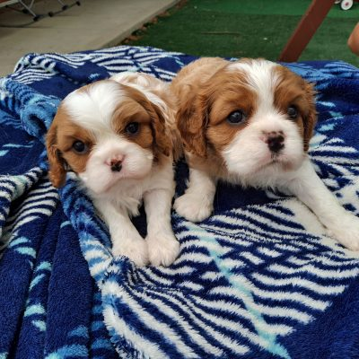 Cavalier King Charles Spaniel pups for sale at New Haven, Indiana