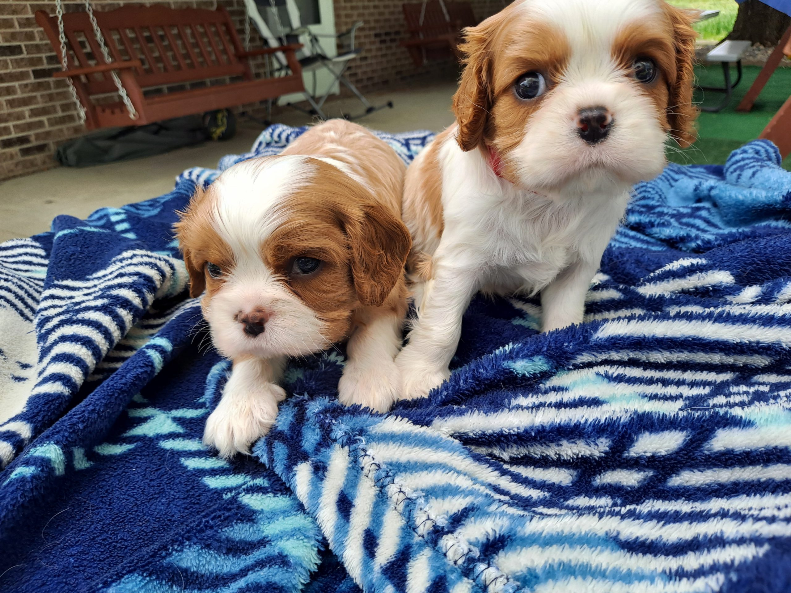 Cavalier King Charles Spaniel pupper for sale near New Haven, Indiana