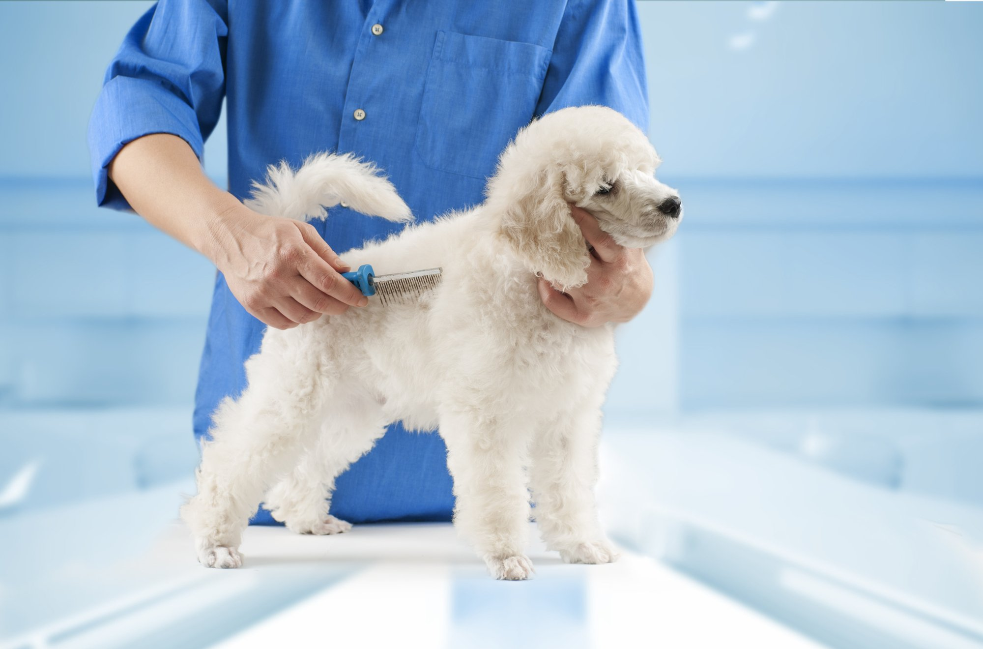 White Poodle getting groomed at a dog salon
