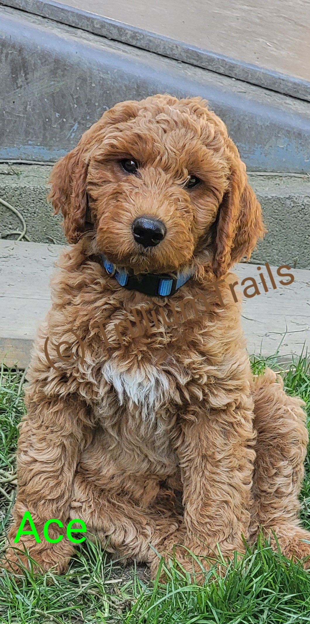 Ace (sold) Goldendoodle f3 puppy for sale in Pulaski, Pennsylvania