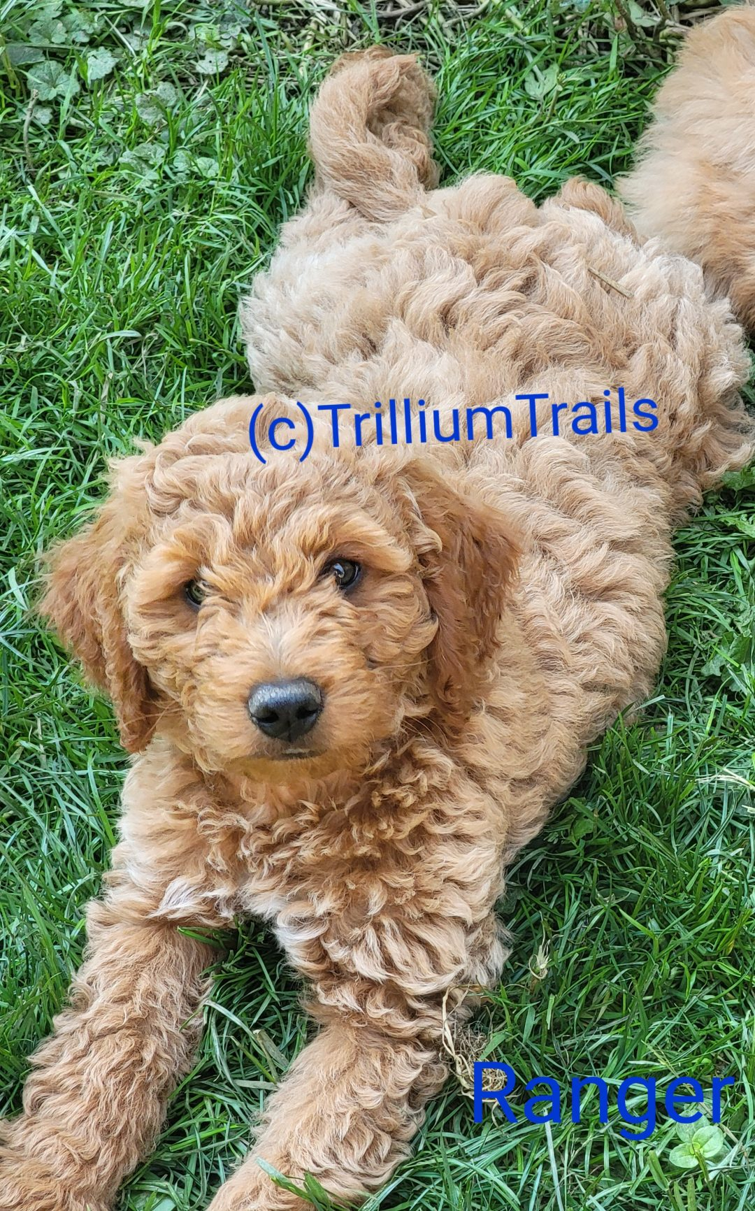 Ranger (Pending) Mini Goldendoodle f3 male pup for sale in Pulaski, Pennsylvania