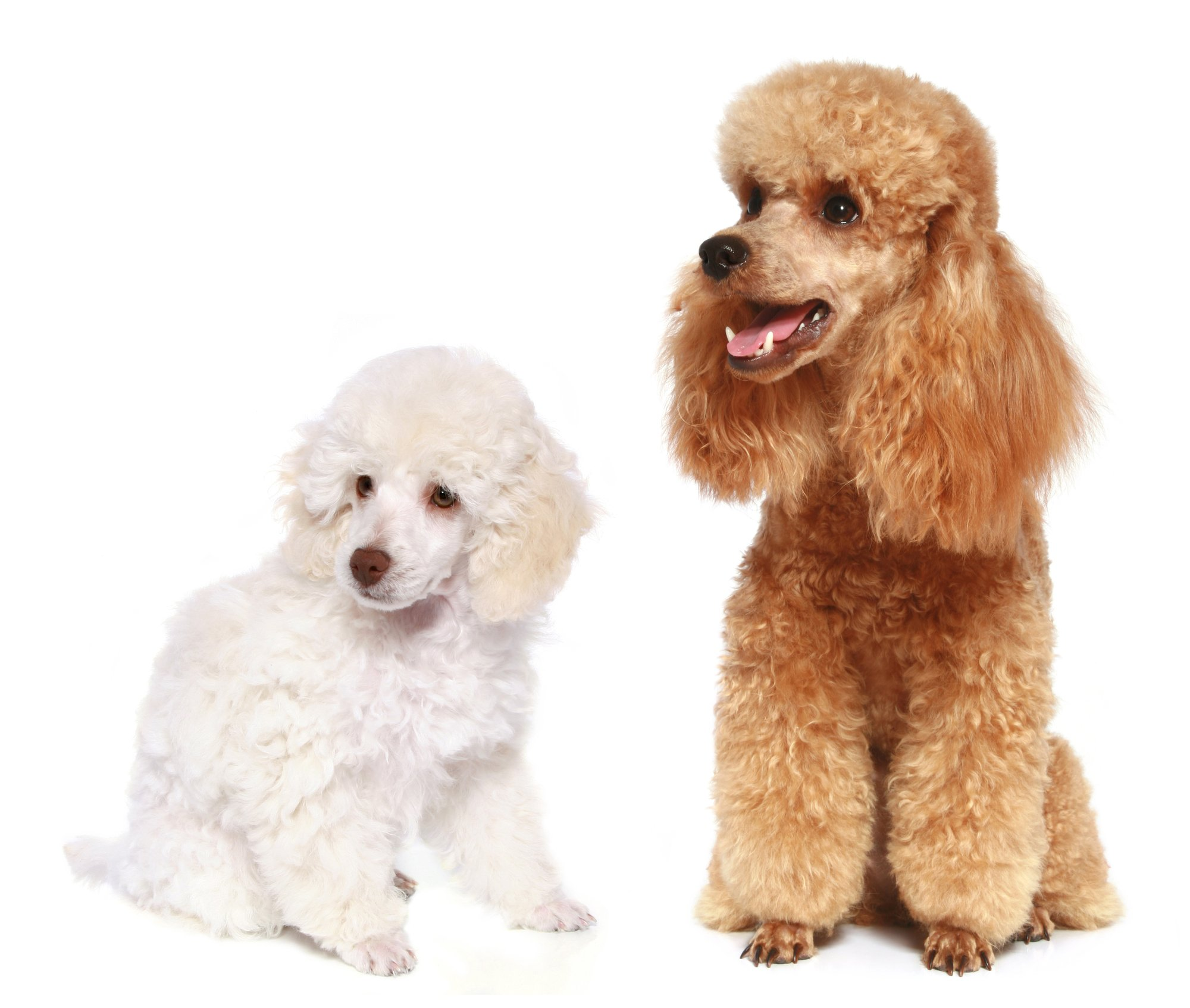 Small poodle with Toy Poodle in front of a white background