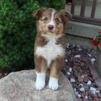 Roxann - Australian Shepherd female doggie for sale at New Haven, Indiana