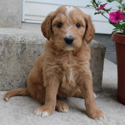 Lonnie - Goldendoodle male pup for sale at Grabill, Indiana