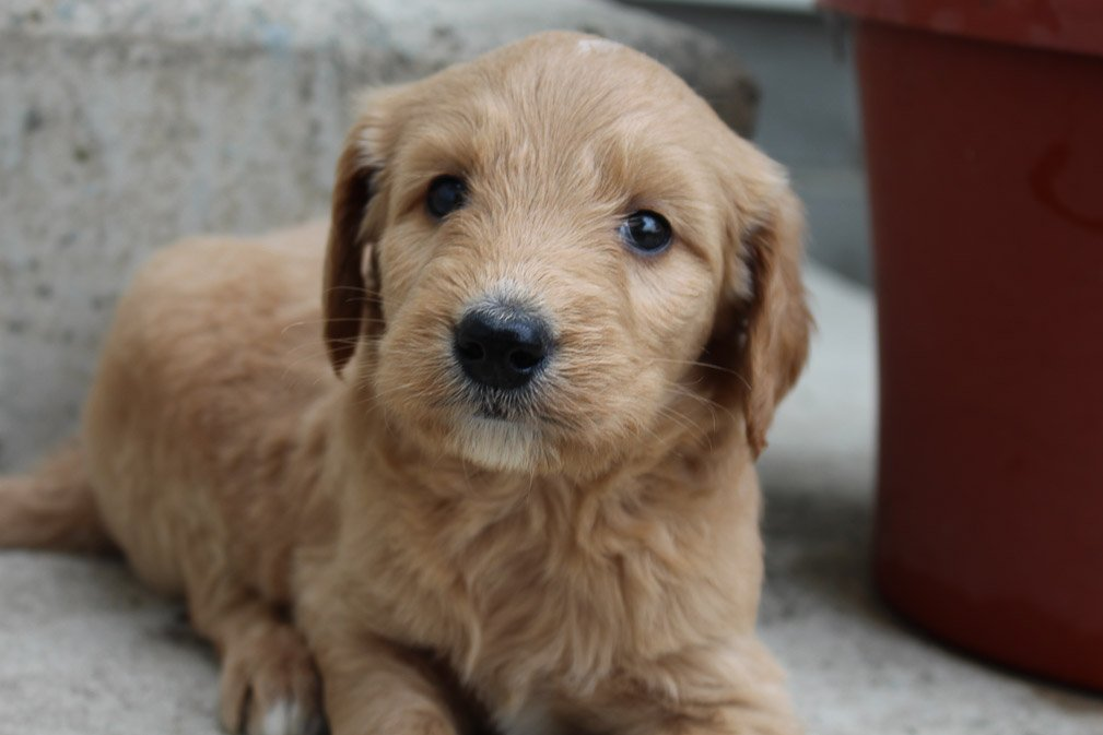 Trevor - Goldendoodle male puppie for sale in Grabill, Indiana