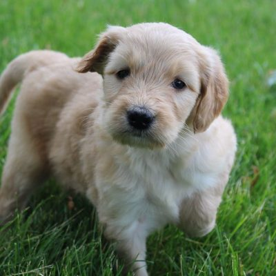Jayla - doggie Goldendoodle female for sale at Grabill, Indiana
