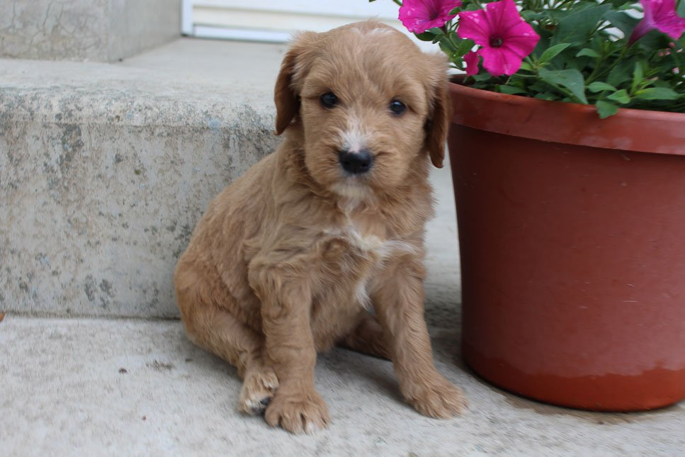Jenna - Goldendoodle female puppy for sale near Grabill, Indiana