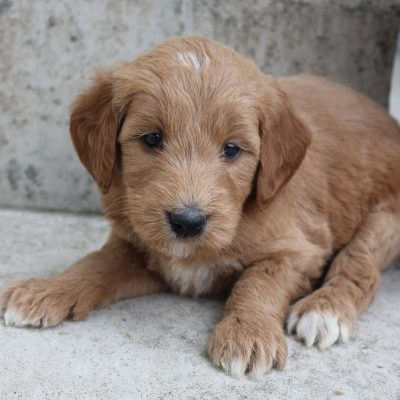 Teddie - male Goldendoodle puppie for sale near Grabill, Indiana