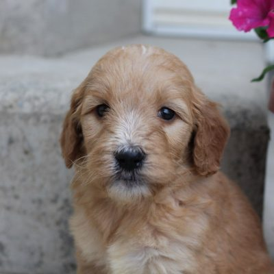 Abby - Goldendoodle female puppy for sale at Grabill, Indiana
