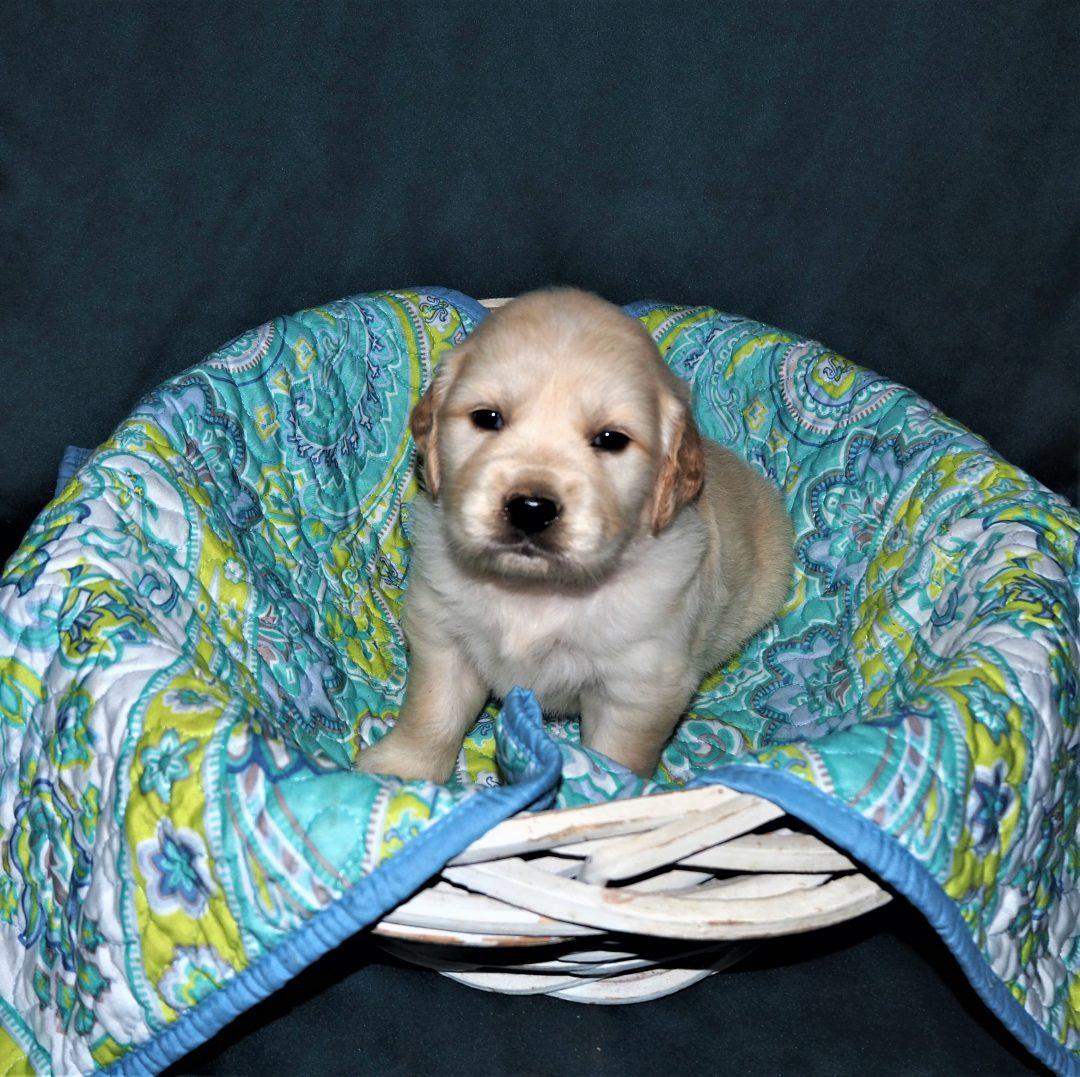 Daisy - AKC Golden Retriever female puppie for sale in Cullman, Alabama